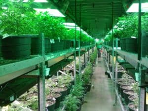 cannabis plants growing in greenhouse on shelves
